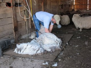 Sheep Shearing Day April 12, 2008 ~ Thistle Cove Farm